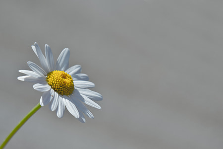 macro photography of Daisy flower