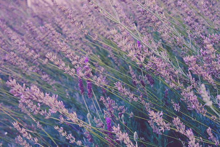 bloom, blossom, flora, flowers, lavender, nature