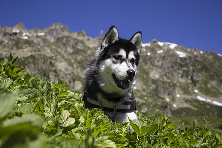 adult black and white Siberian husky