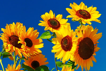 photo of yellow sunflowers under clear blue sky
