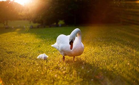goose on green grass field