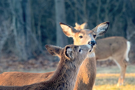 two brown deers kissing