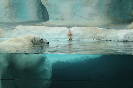white polar bear underwater photography