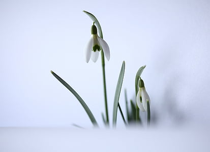 selective focus photo of white snowdrop flowers
