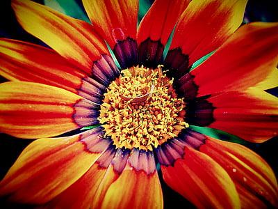 macro photography of red and yellow Gazania flower
