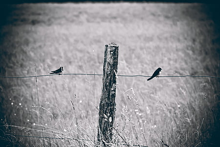 grayscale photography of two swallows perched on wire fence