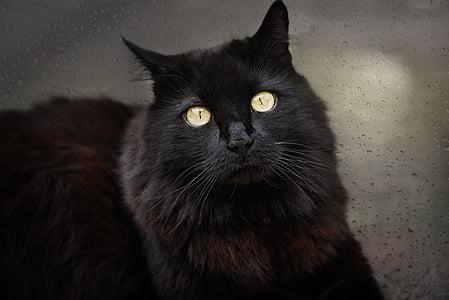 long-coated black cat