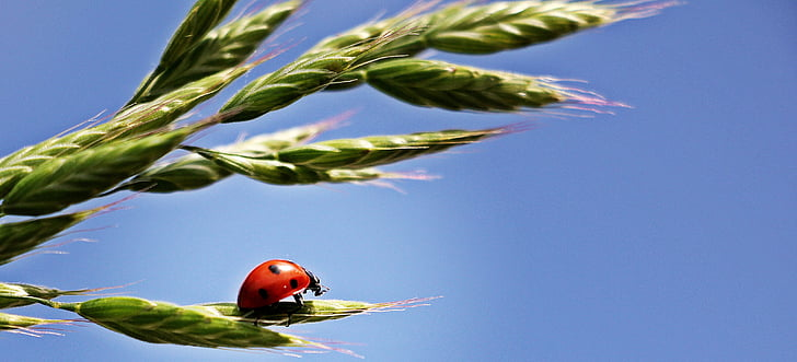 red Lady bug walking on green leaf wallpaper