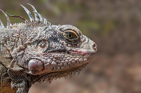 close up photo iguana