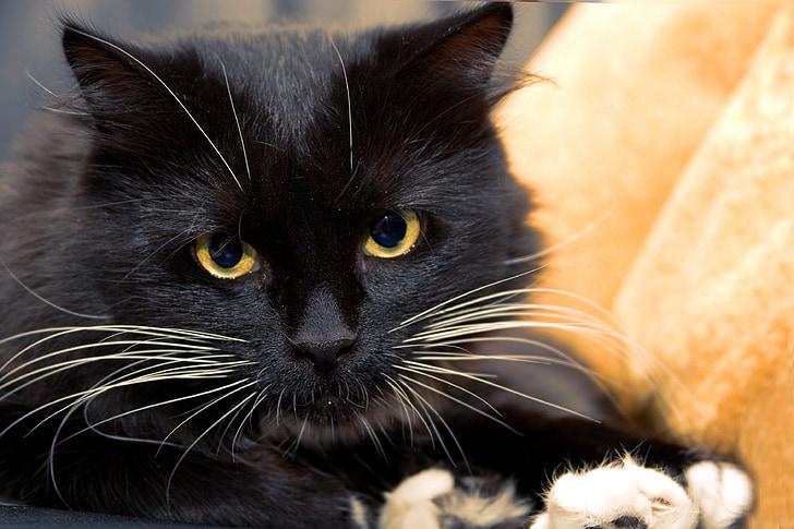close up photo of adult black cat