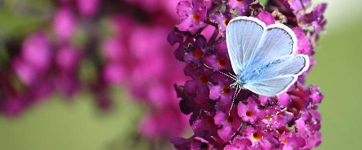 common blue butterfly on purple petaled flowers