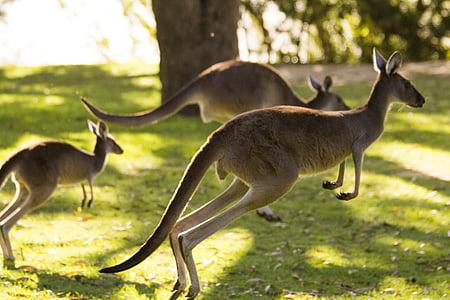 three kangaroos on green lawn grass