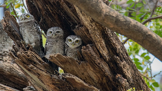 three gray-and-white owl hiding on old bent over tree trunk