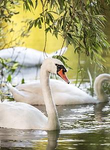 white swan in body of water