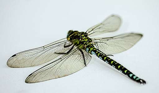 yellow and brown darner dragonfly