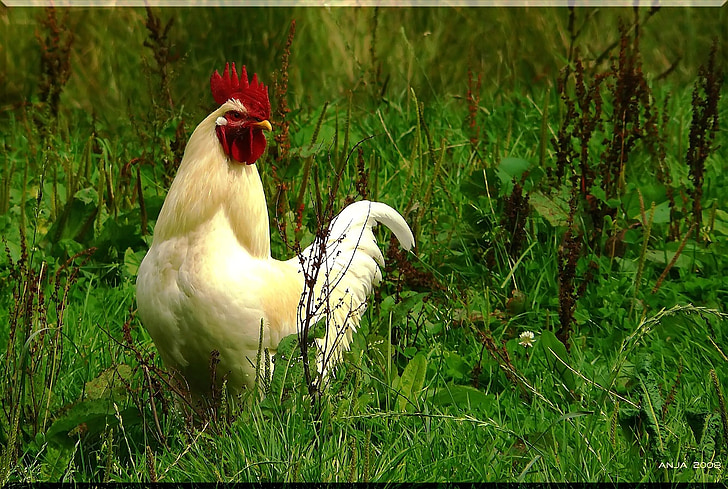 white rooster on green plants at daytime