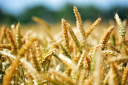 selective focus of wheat photography during daytime