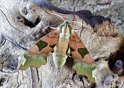 shallow focus photography of pandora hawk moth
