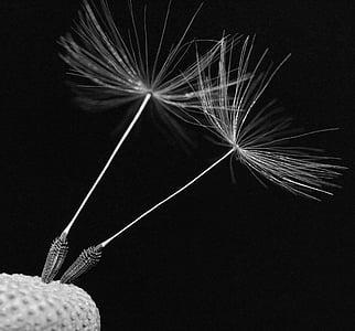 white dandelion petal