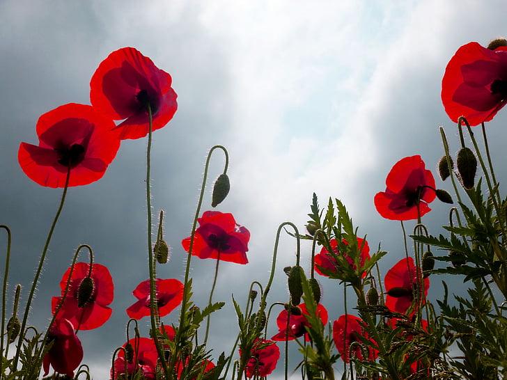 red petaled flower field under blue sky