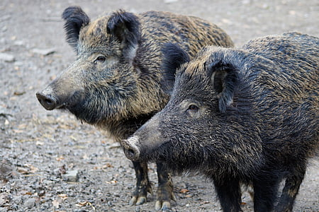 two black wild boars
