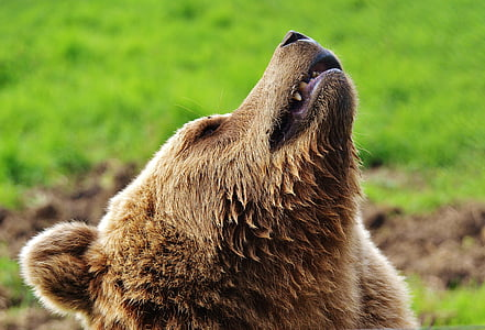 shallow focus photography of grizzly bear