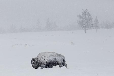 black bison on snow