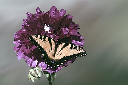Asian tiger swallowtail butterfly perching on flower