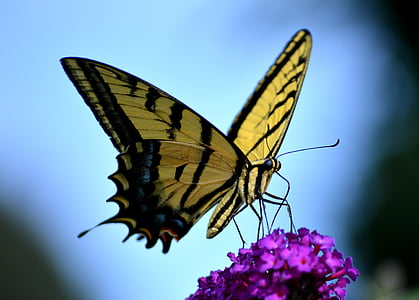 Eastern tiger swallowtail butterfly on purple petaled flowers