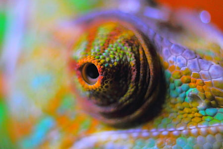 macro photography of chameleon