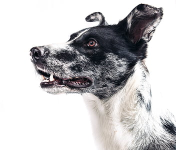 closeup photography of black and white dog