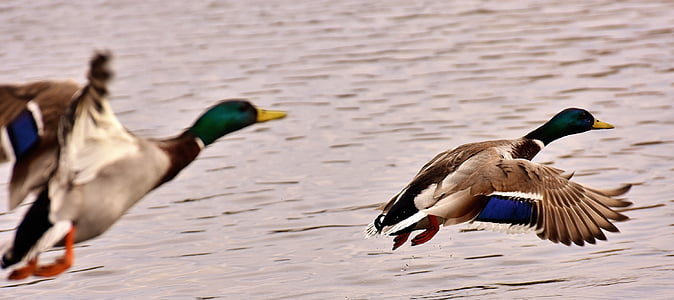 two flying white-black-and-green mallard ducks