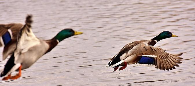 two flying white-black-and-green mallard ducks