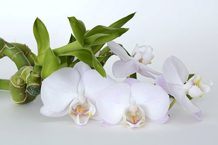 closeup photo of white moth orchid
