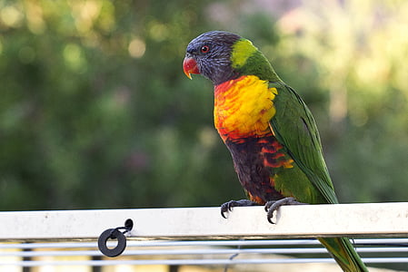 red, yellow, and green pet bird