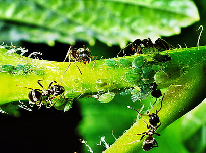 black bullet ants on green leaf