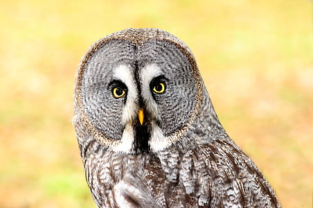 photography of great-grey owl