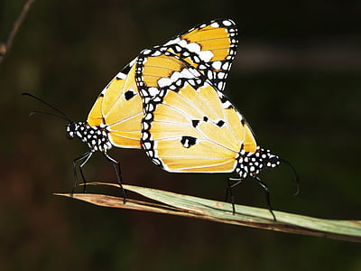 closeup photo of yellow-and-white spotted butterflies mating