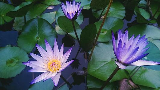 three purple flowers in pond
