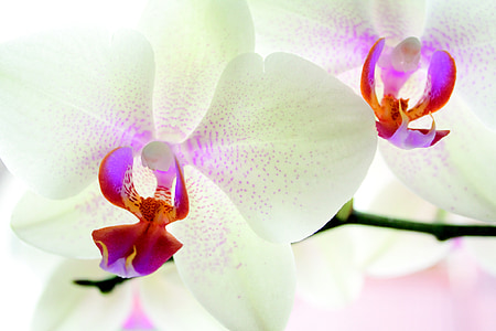 white orchid flowers in macro shot
