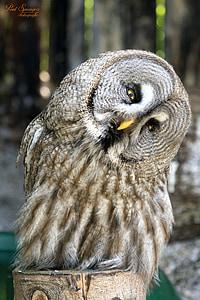 beige owl