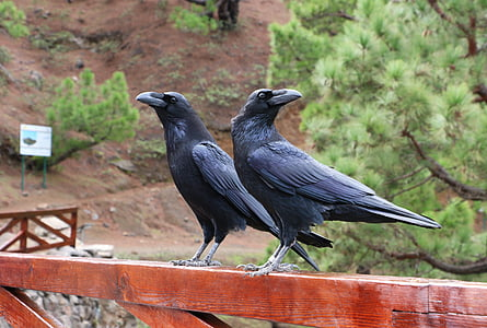 two black crows on brown wooden planks