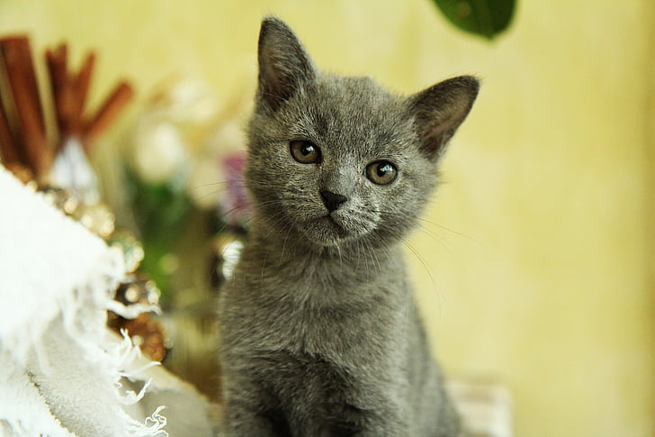 gray cat sitting on table