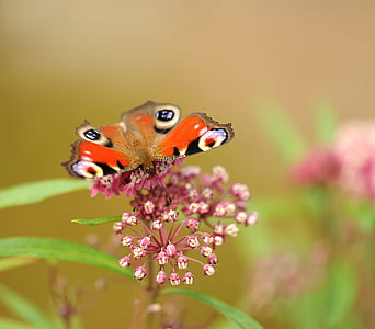 orange butterfly on pink flowers