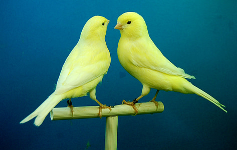 two yellow canary birds