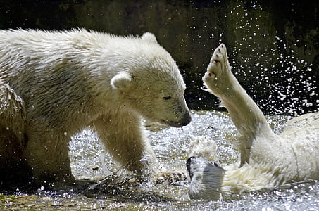 two polar bears playing on water