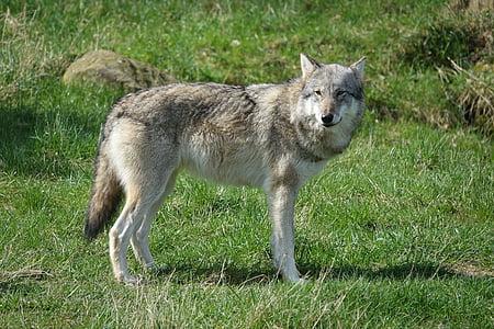 wolf, zoo, wildlife, closeup, grass, one animal