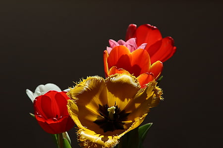 white, yellow, and red tulip flowers