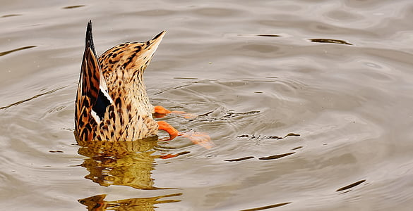 brown duck diving on body of water