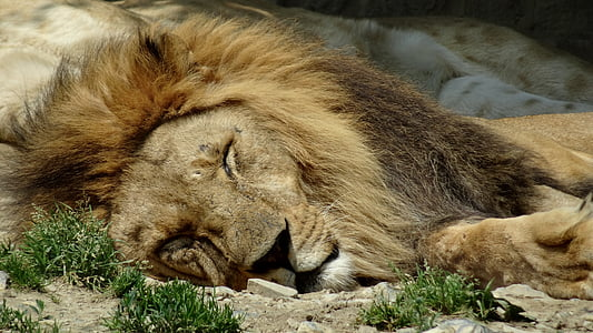 male lion sleeping on ground